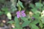 Clarkia rhomboidea
