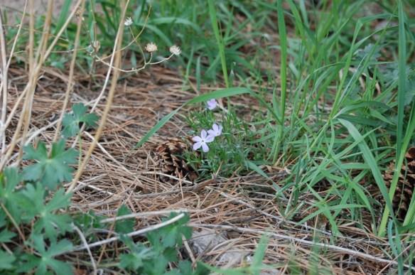 Phlox_longifolia (2)