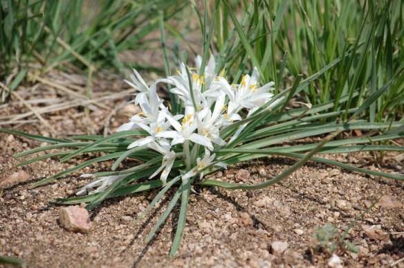 Leucocrinum_montanum (1)