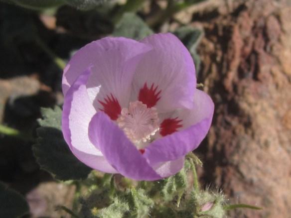 Eremalche_rotundifolia (1)