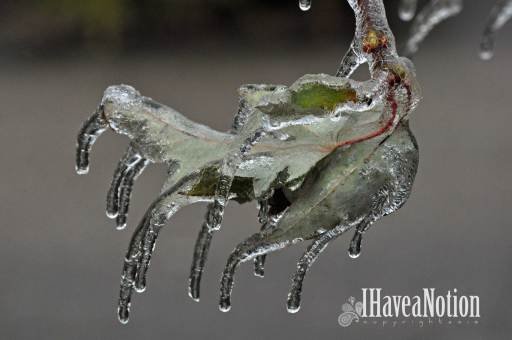 ice on silver maple leaves