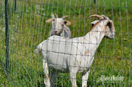 neighboring goats