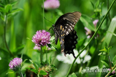 Black Tiger Swallowtail Butterfly