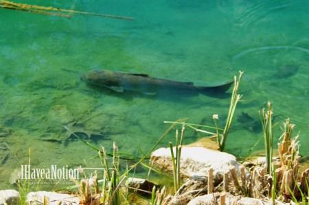 catfish n the pond