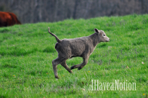 The newest calf cavorting