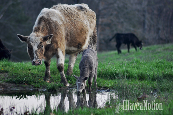 Spring cow and calf