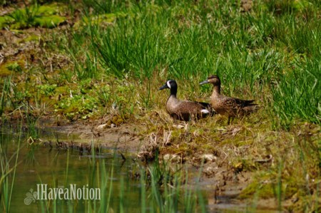Spring Visitors Blue Wing Teal Ducks