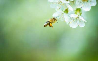 帶回蜜蜂:如何種一個養蜂友好的花園