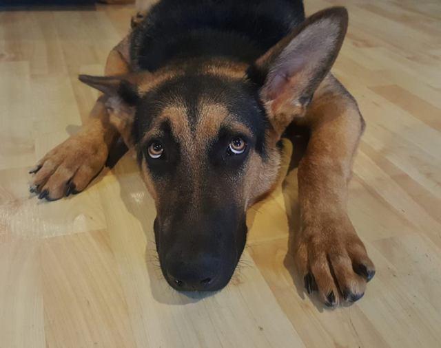 Puppy Dog Eyes Dog Wont Eat