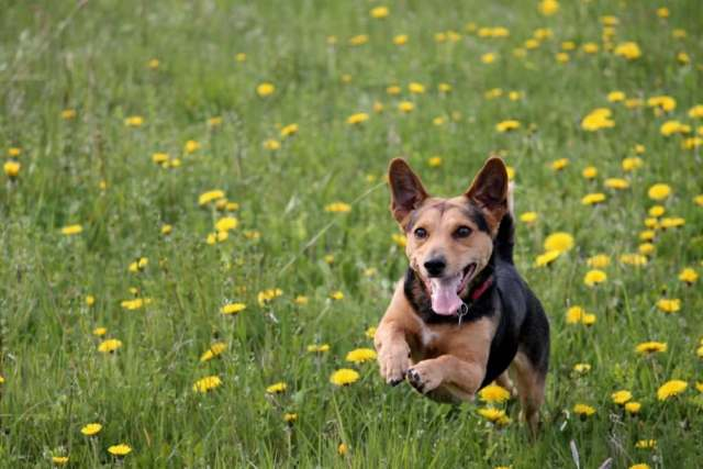 dog running in a meadow