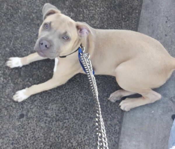 Pit Bull Laying on Pavement
