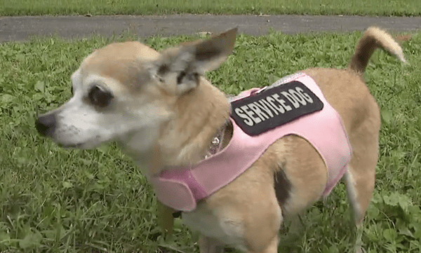 Chihuahua Wearing Service Dog Vest