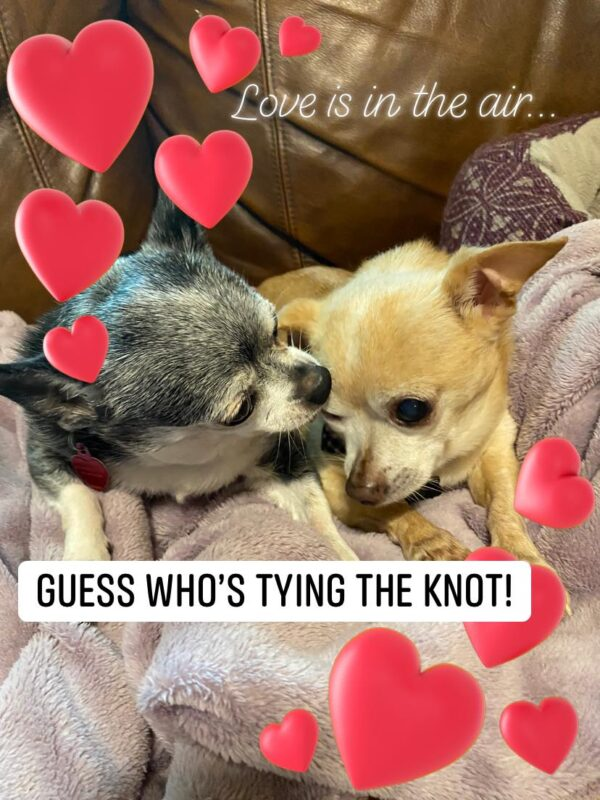 Chihuahuas in love