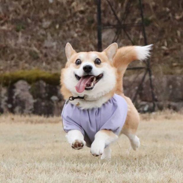 Corgi running with shirt