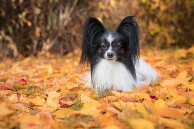 Papillon dog in leaves