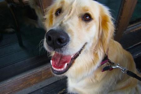 National Golden Retriever Day Smile