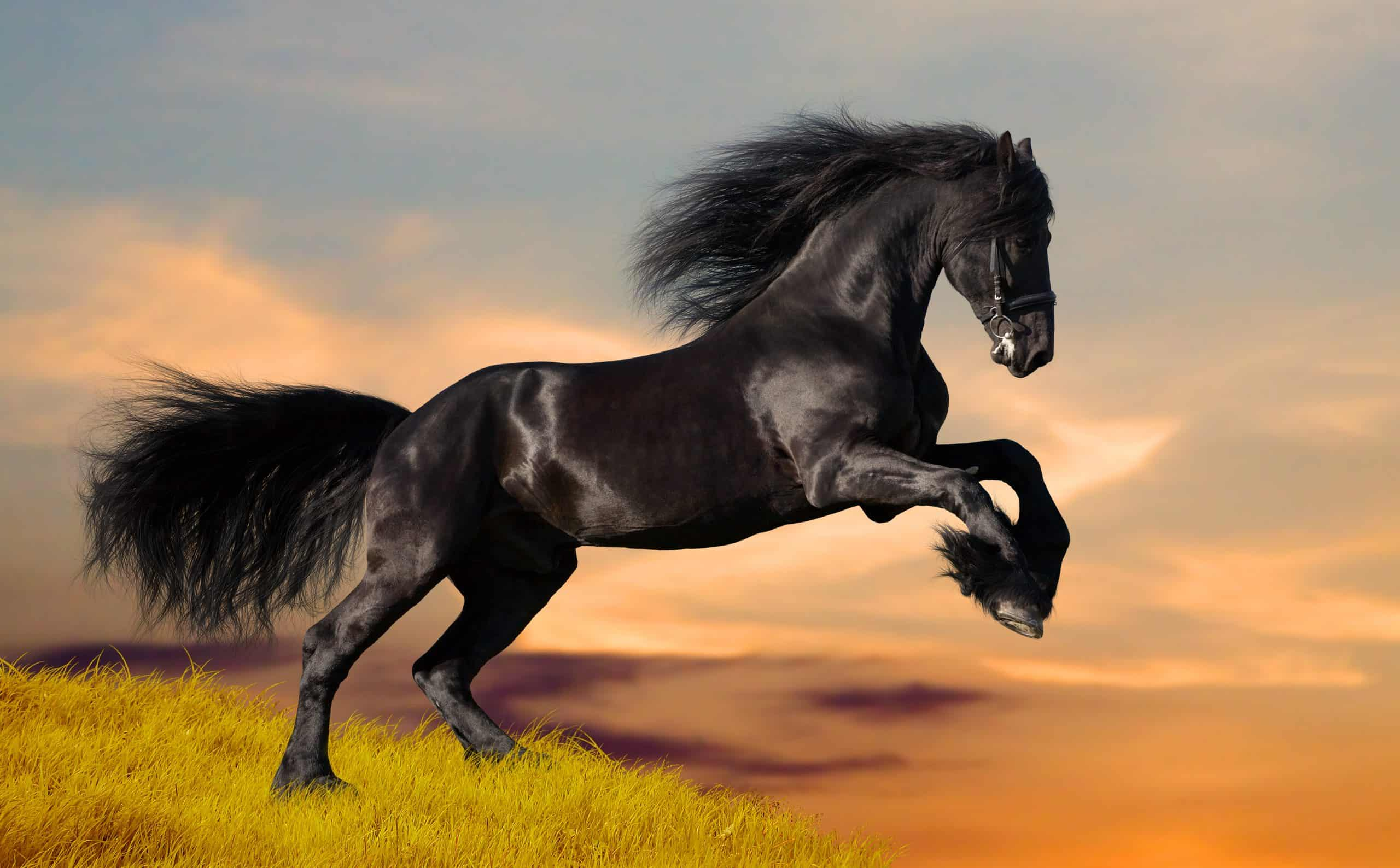 Friesian black stallion gallops on the hill at sunset.