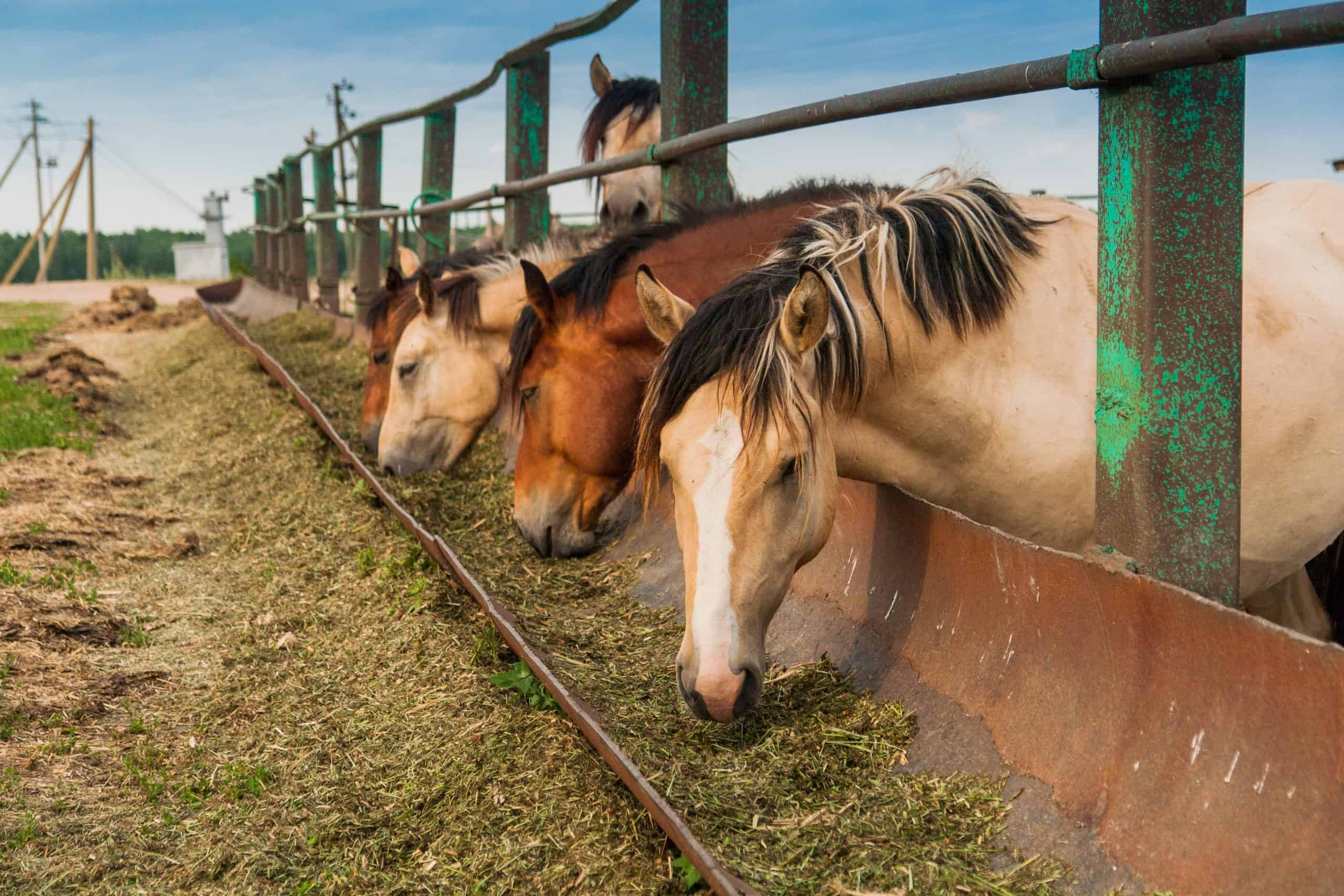 Hungry horses want to eat, eat from the trough