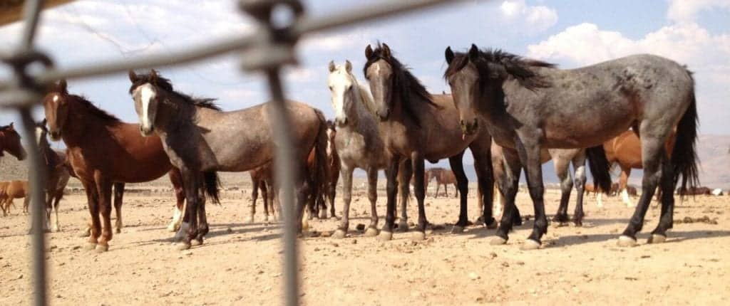 Several beautiful mares came to say hello..of the 1,100 wild horses held at this BLM Palomino Valley Center, located near the Burningman festival site, in Nevada. The wild horses and burros are not offered any shelter from burning hot desert sun and 100 horses must share 1 water trough…daily survival here is a struggle. Our wild horses do not belong behind bars.