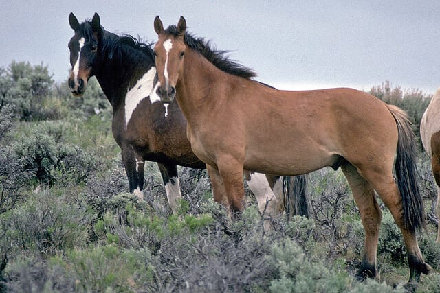 Oregon wild horses. Image source: BLM via Flickr