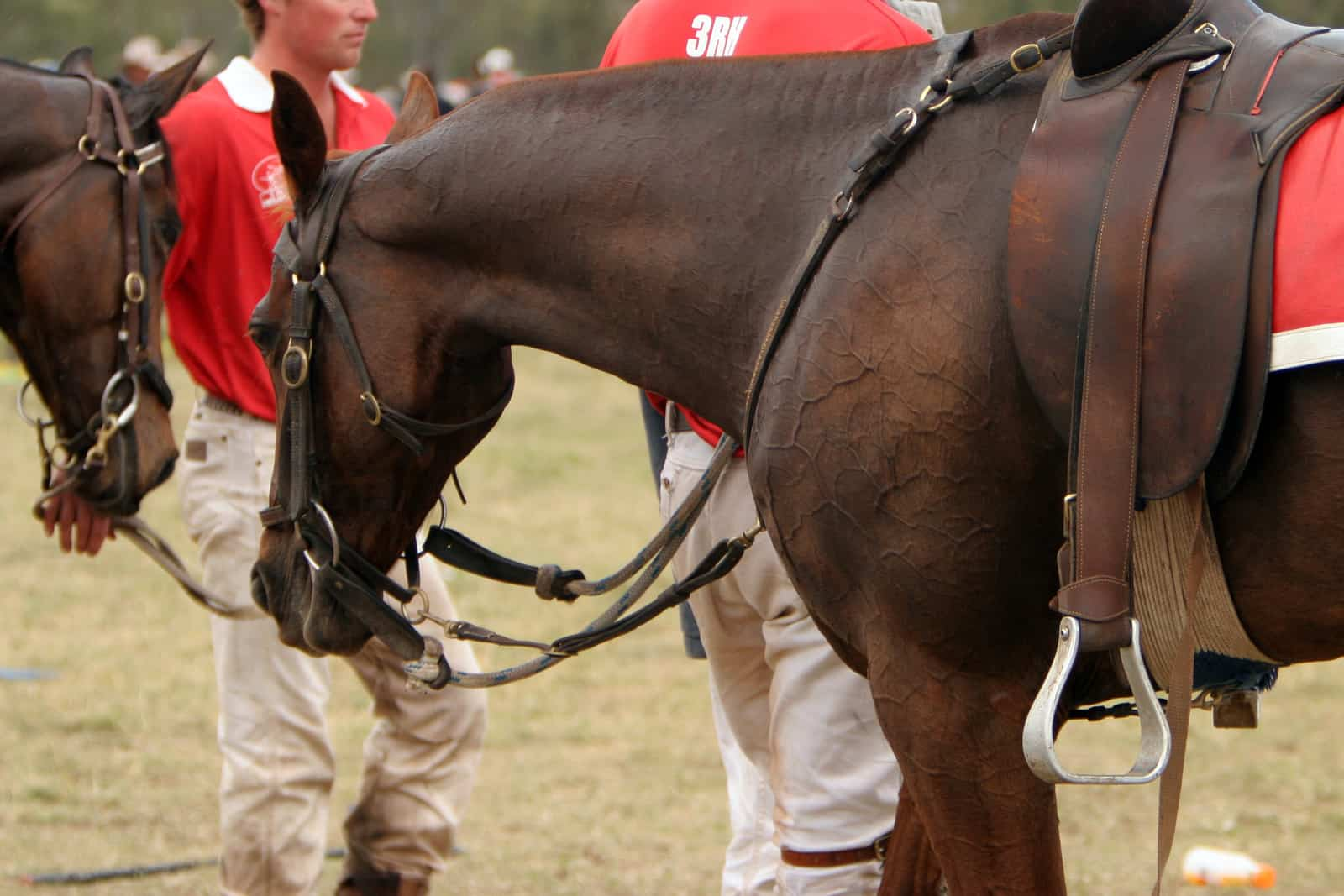 Polocrosse horse sports