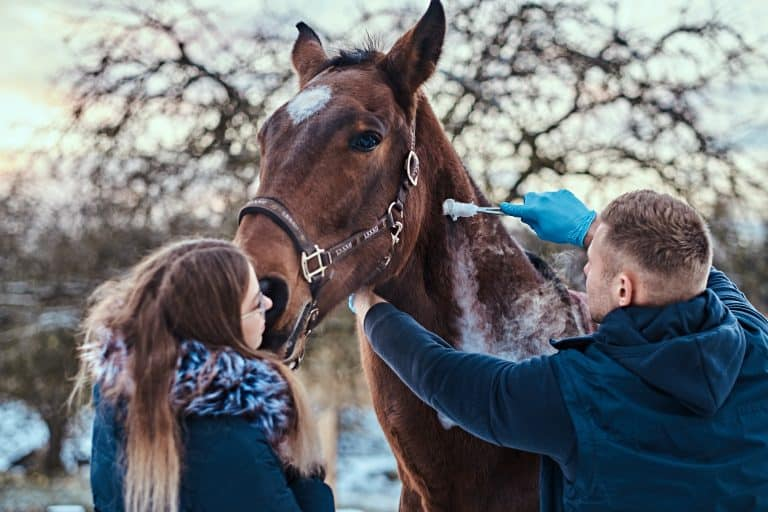 Veterinary man with his assistant treating a brown purebred horse, papillomas removal procedure using cryodestruction, in an outdoor ranch