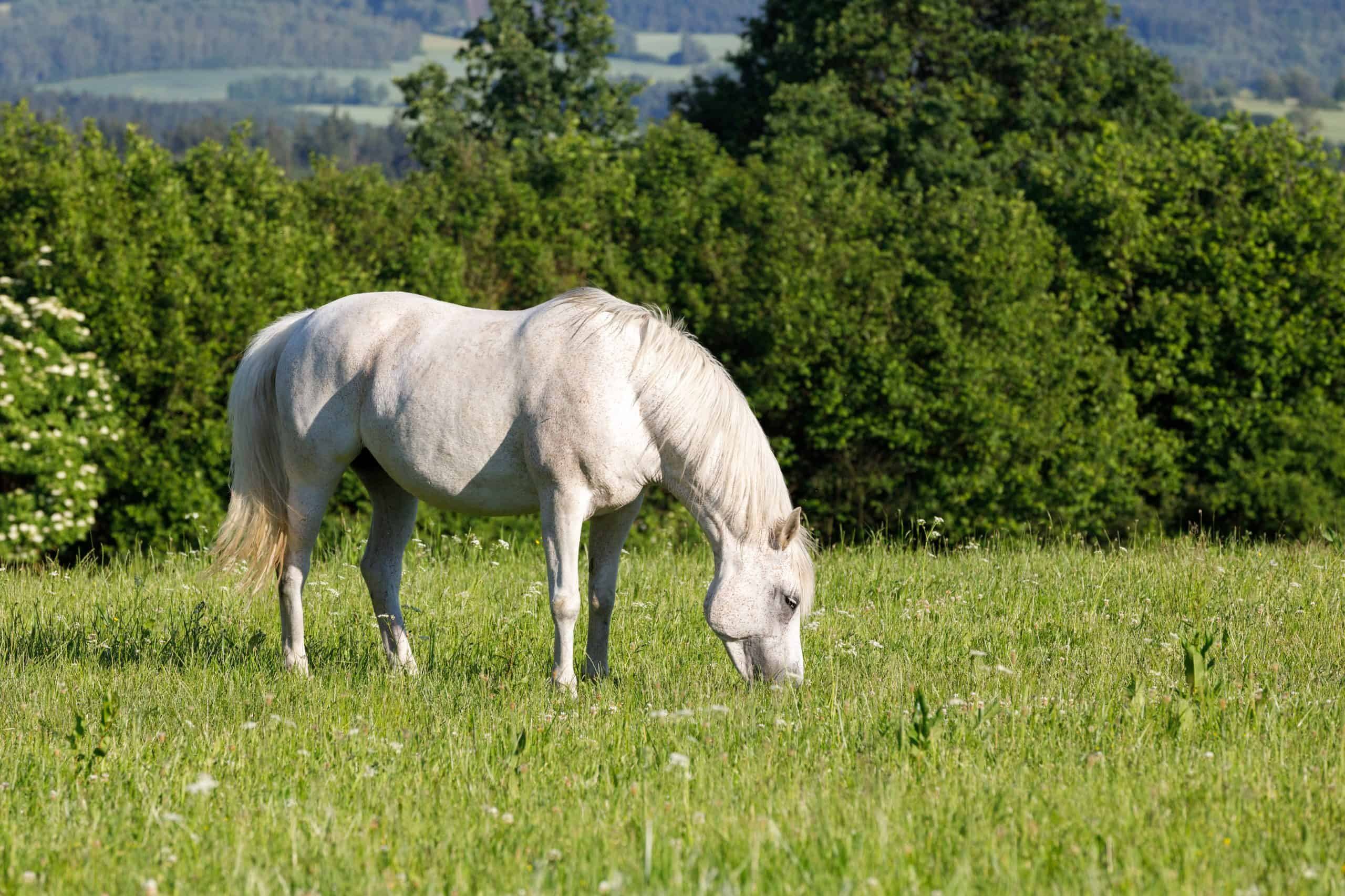 beautiful health white horse grazing in a spring grass meadow pasture in eveningbeautiful health white horse grazing in a spring grass meadow pasture in evening