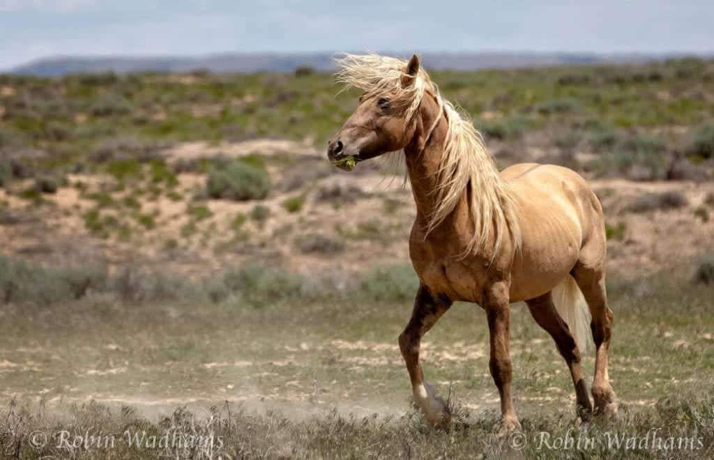"Photo By Robin Wadhams: And then God created ""Corona"" a great wild stallion"