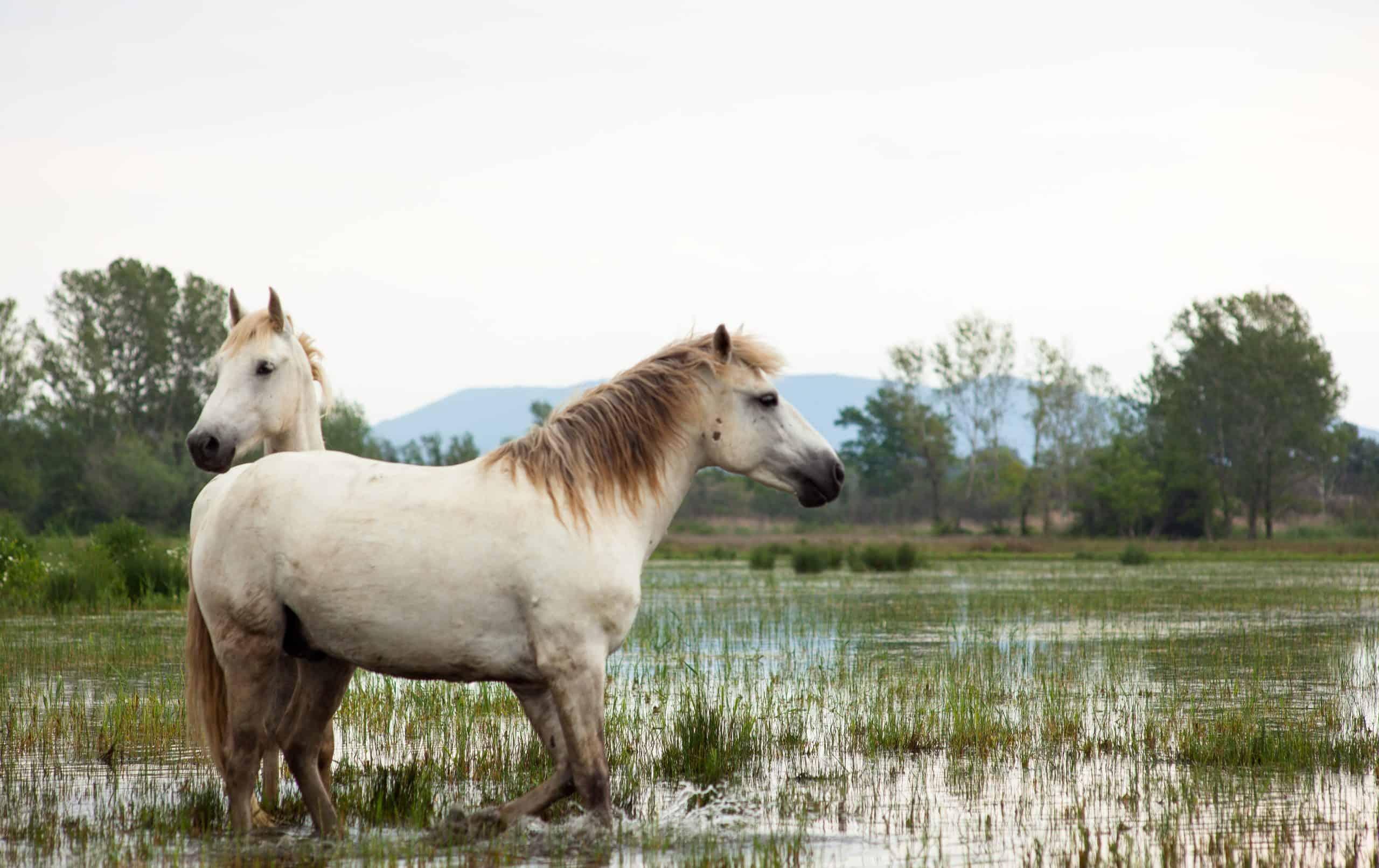 Camargue horses in a swamp - Isola della cona