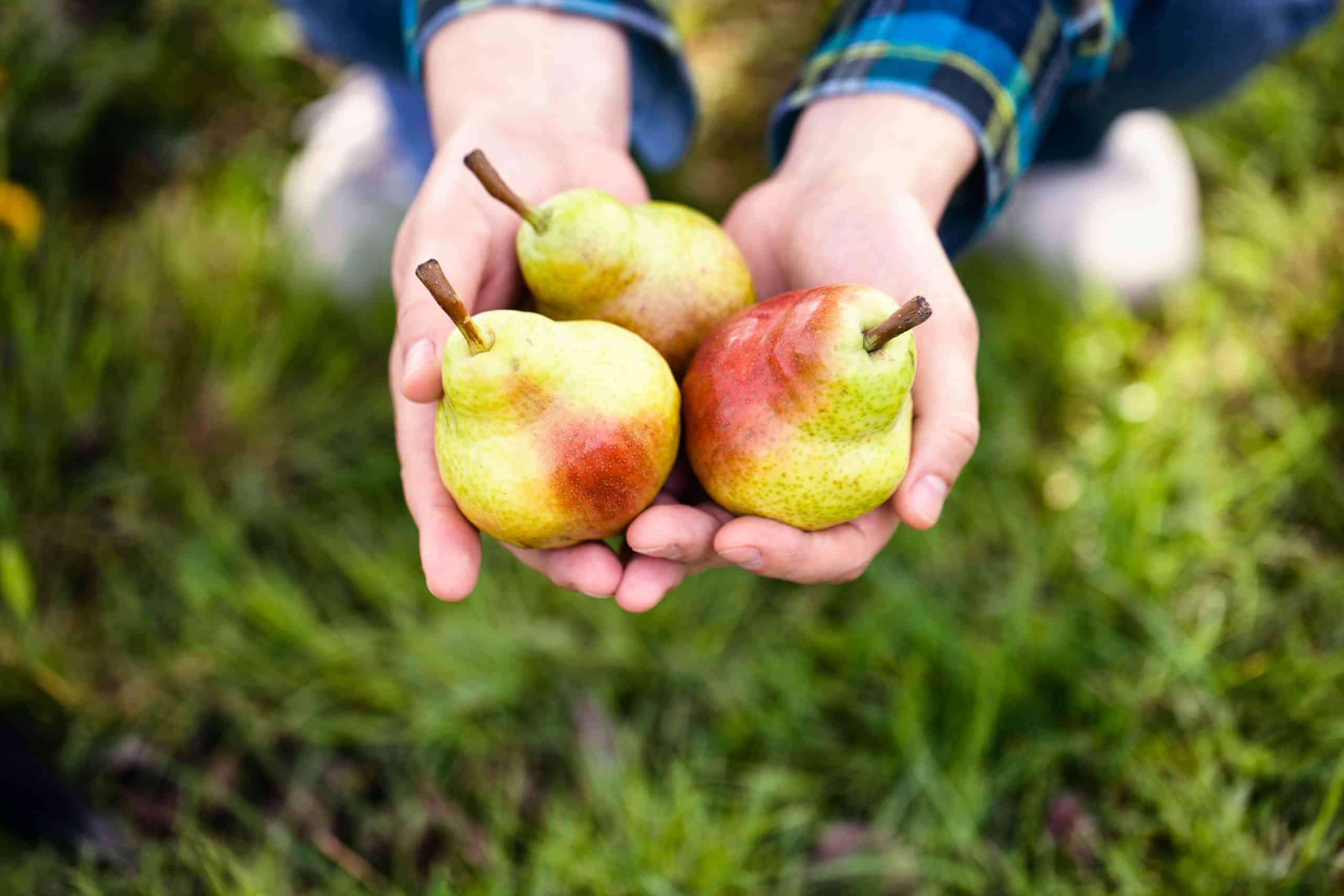 organic pears for homemade horse treats