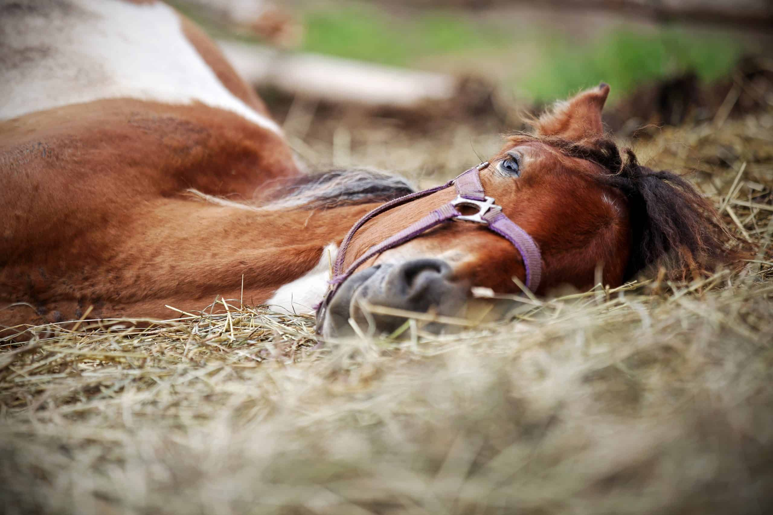 Horse resting in the hay on the farm