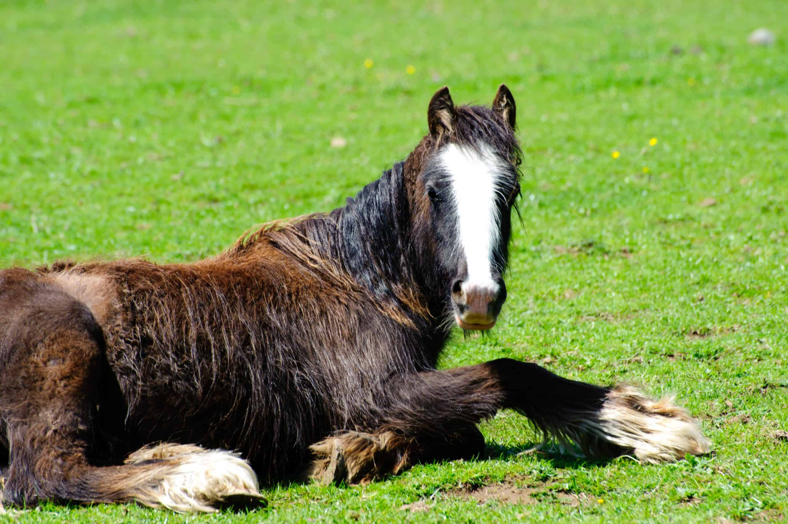 Rescued neglected horse resting and recovering in a green field.