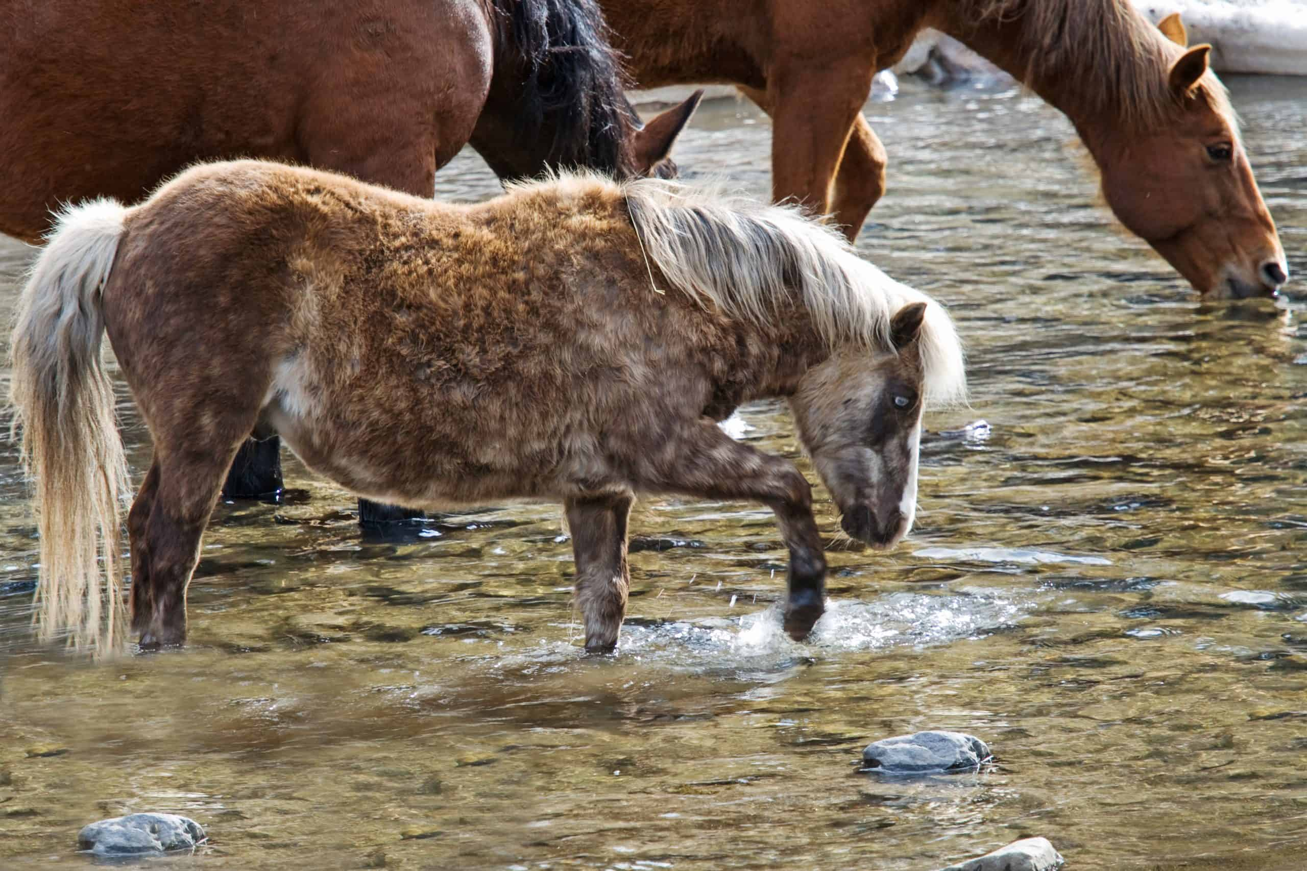 Dappled gray shetland pony pawing at water in stream while other horses are drinking in the background