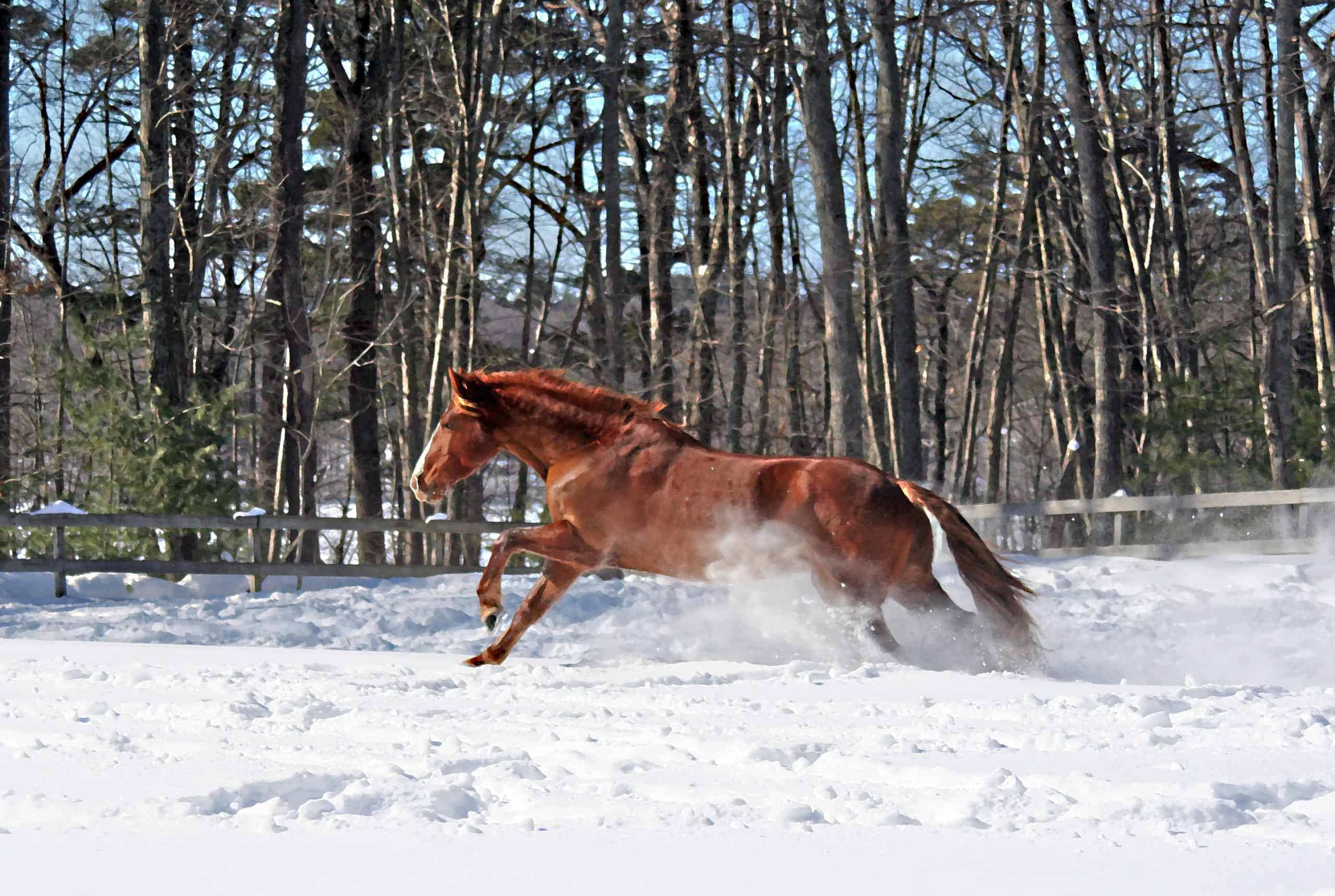 A clear blue winter day this Quarter Horse that I rescued from going to slaughter is enjoying a new-fallen snow. I took this photo in the winter of 2016.