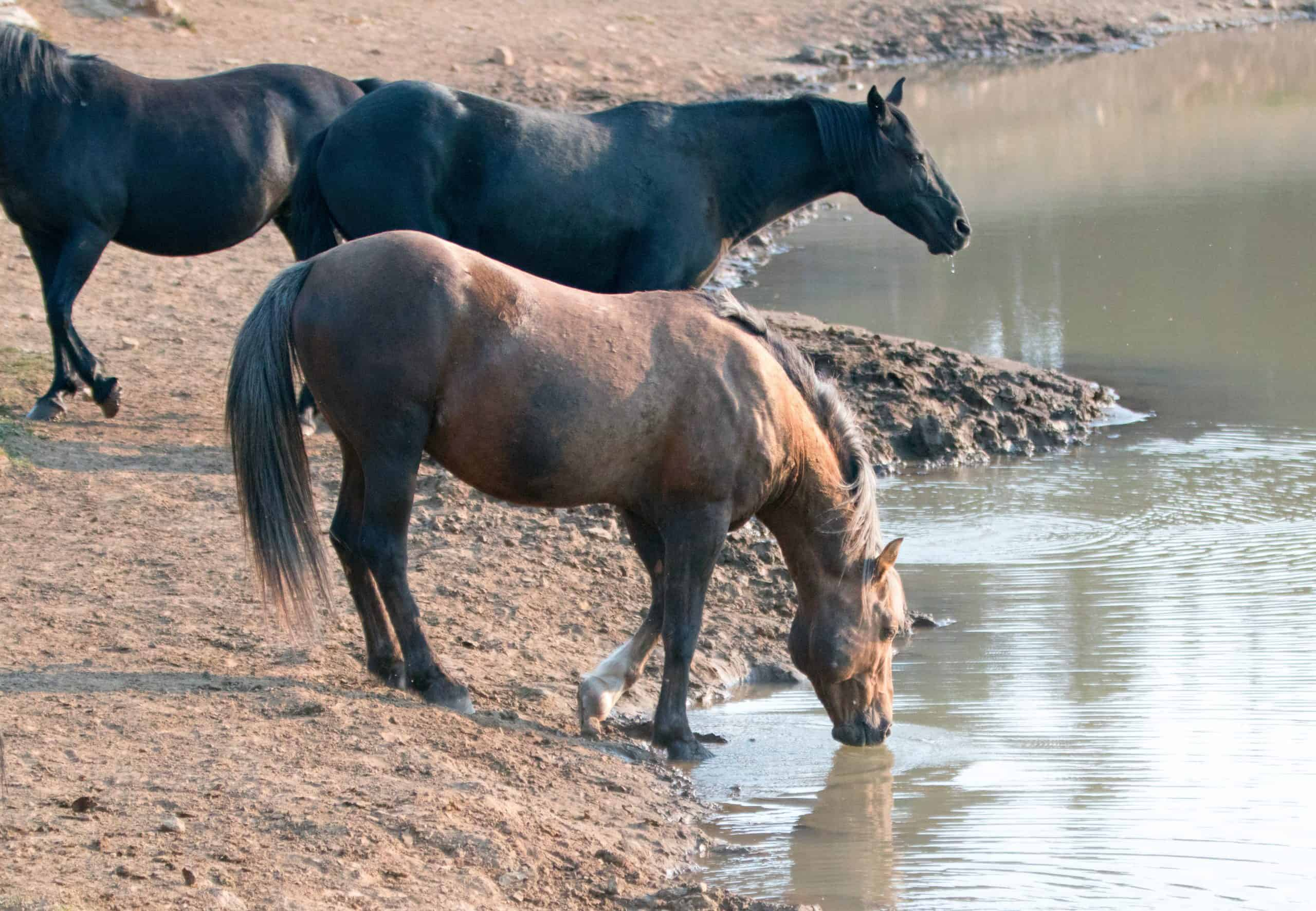 Sooty Palomino stallion drinking water at waterhole with herd of wild horses at the waterhole in the Pryor Mountains Wild Horse Range in Montana United States
