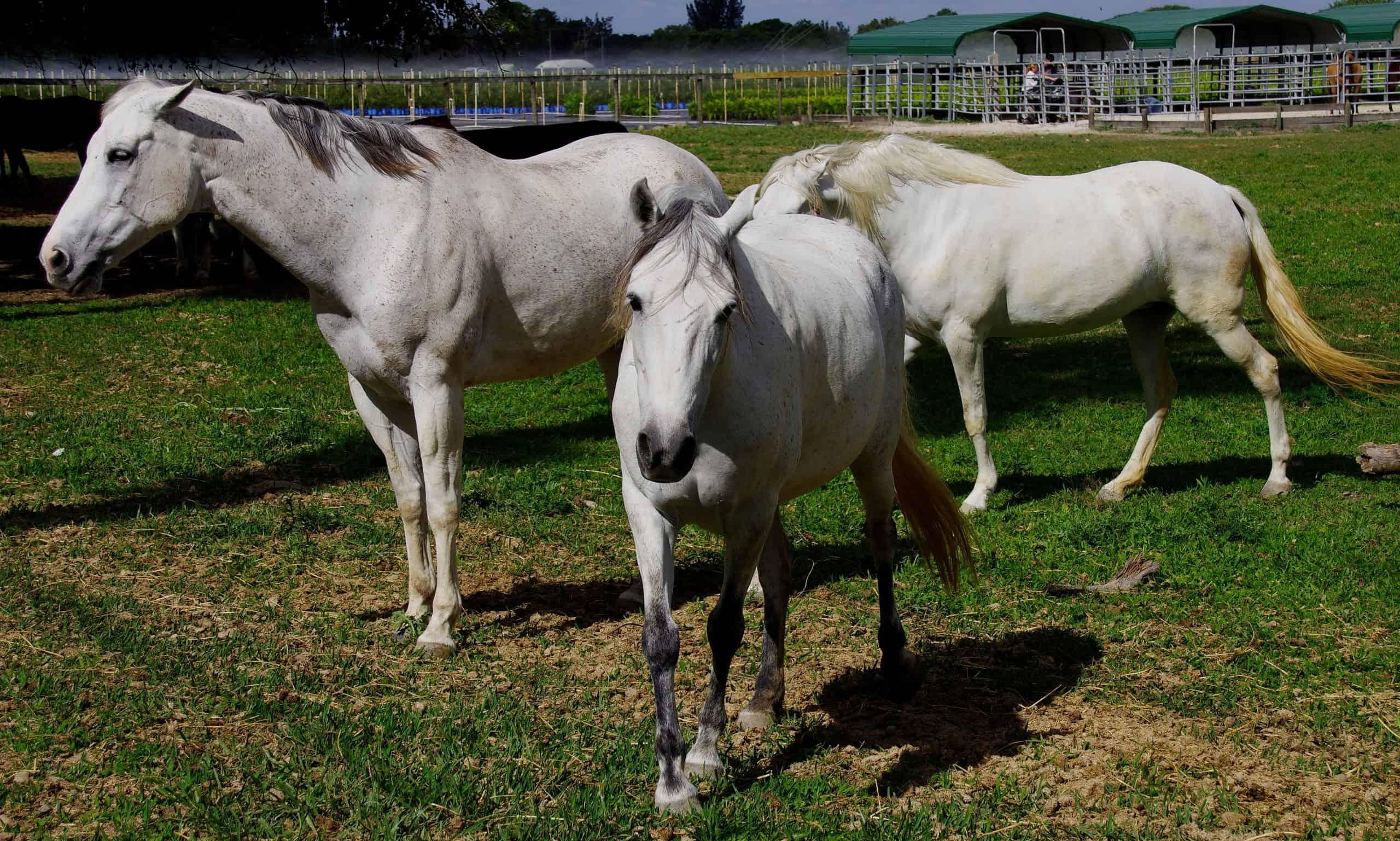 Three white horses at rescue shelter