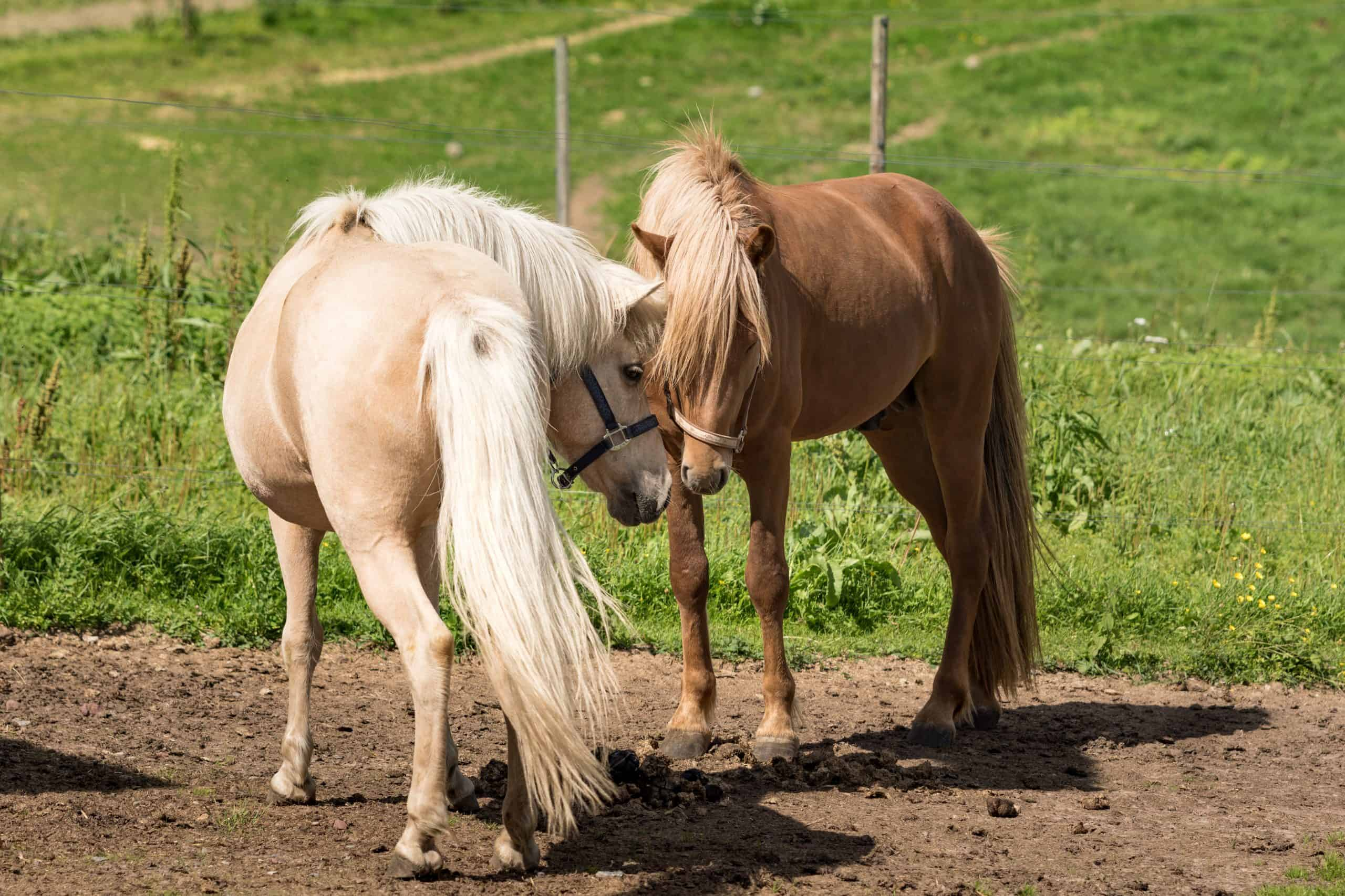 Icelandic horses getting to know each other, making friends prior to mating.