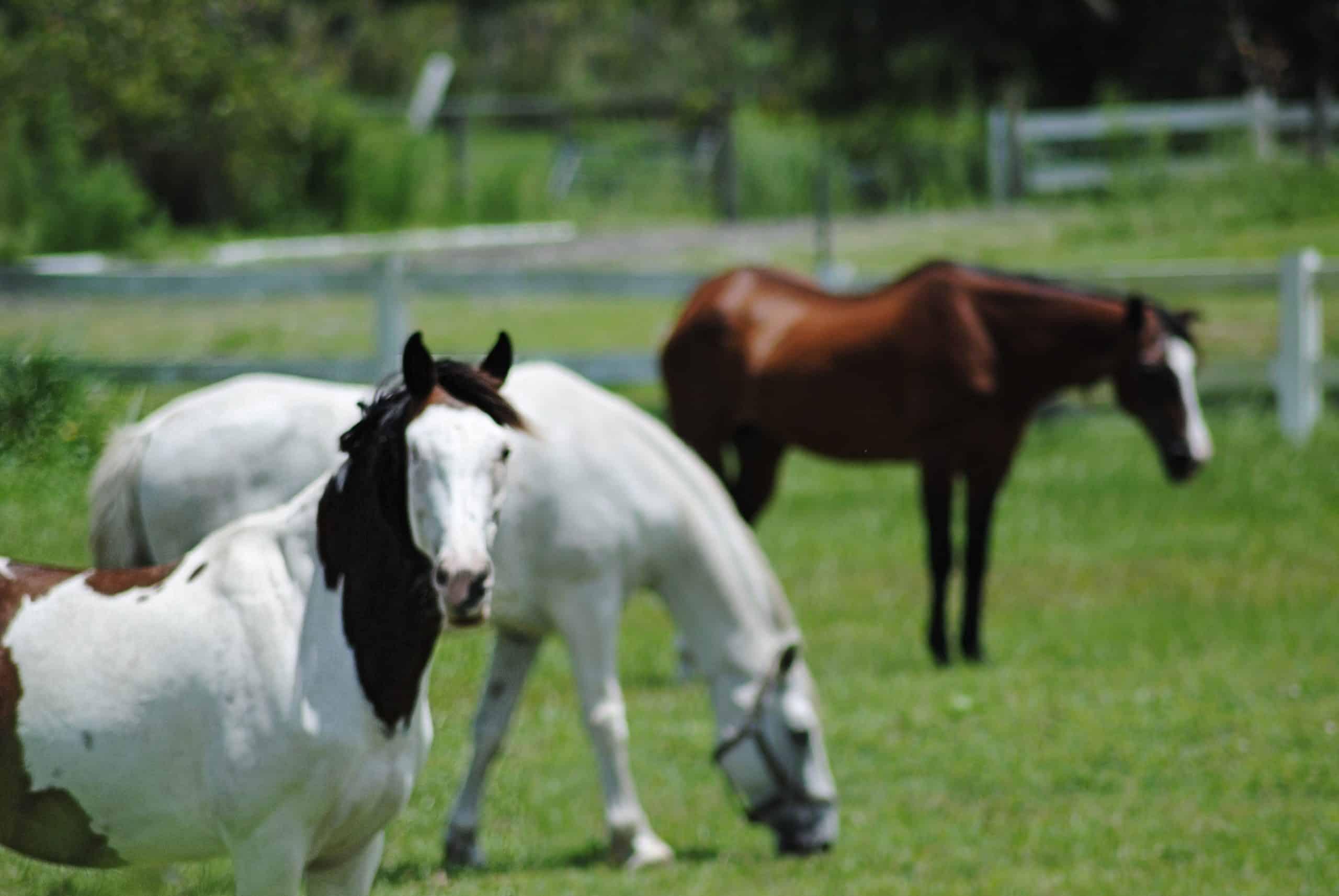 painted, multiple, horses, field, farm