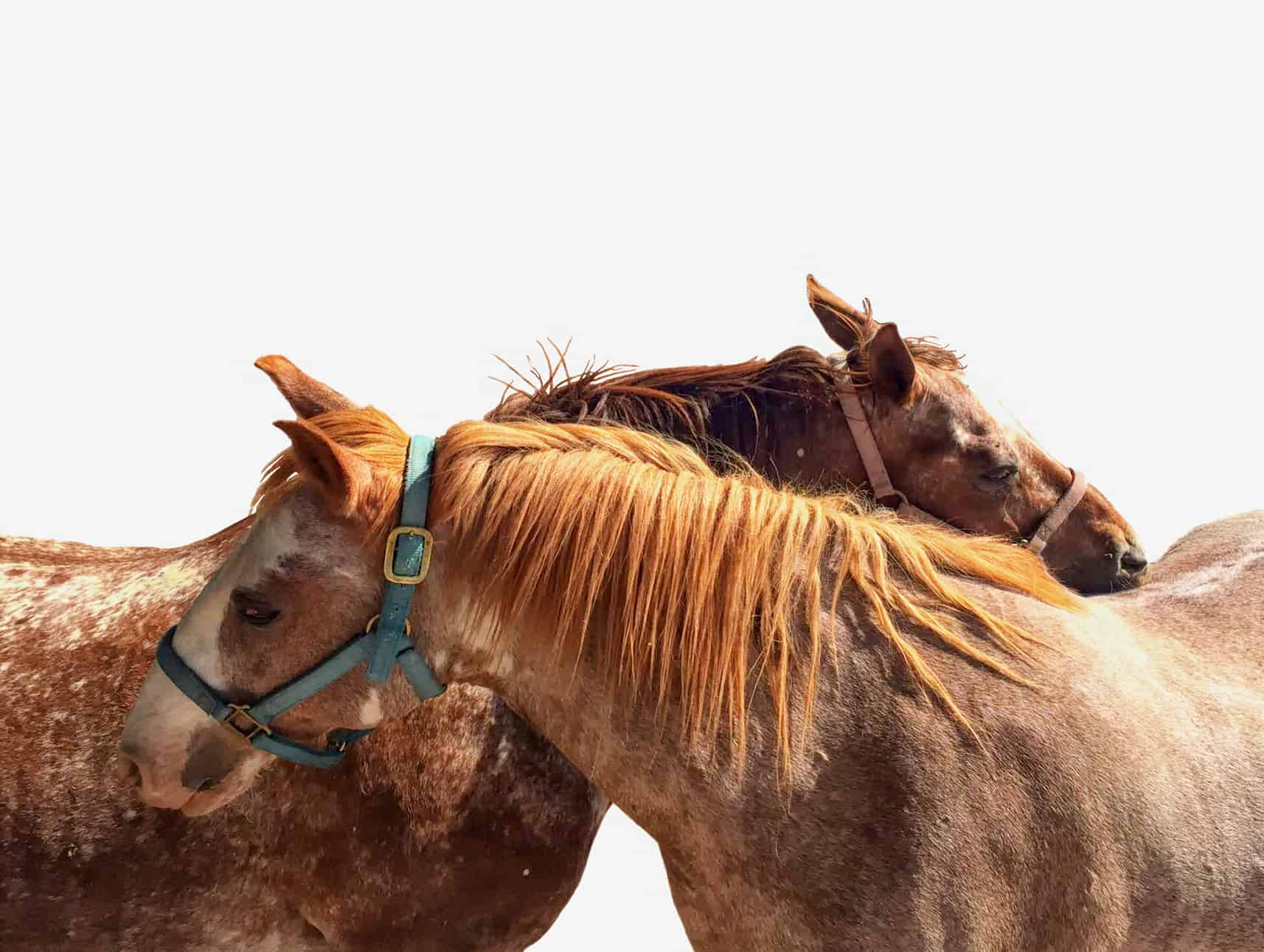Two colorful horse friends standing head to tail, scratching each other's backs on a white background.