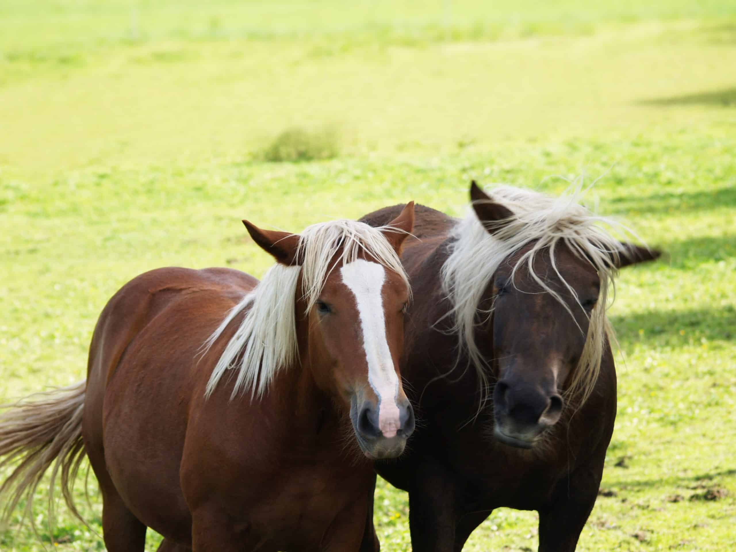 two friends, two horses on the pasture (41)