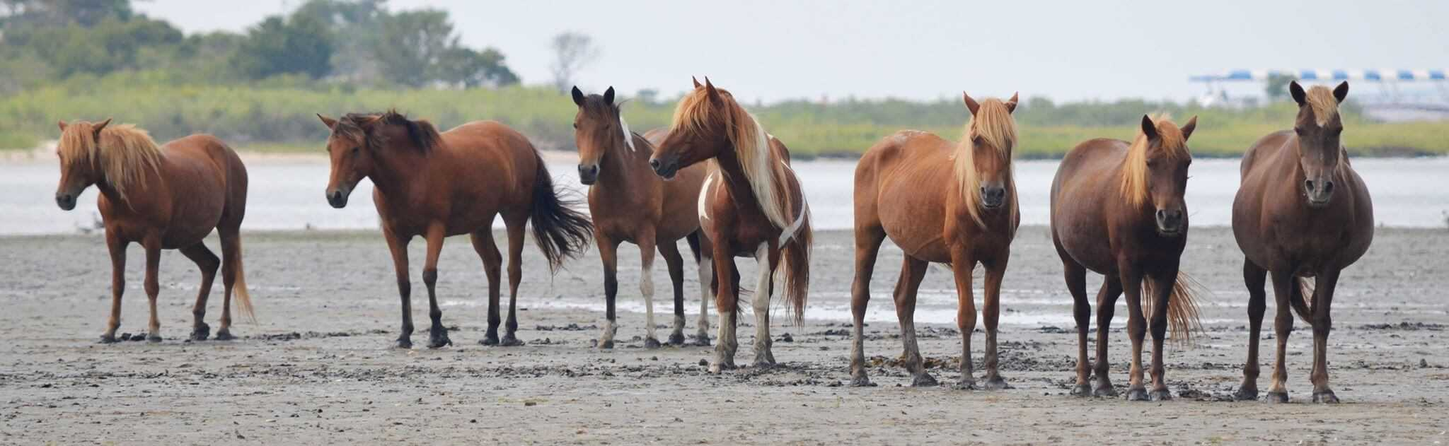 Image: From left - M2EINR-B (Rohan), N2BHS-E (Eve), N2BHS-H (Patricia Irene) these two are sisters, M6MS-G (Chestnut), M2EINRY (Larry), M17GMV (Little Paka), M2EINS (unnamed mare). Source: Assateague Island Alliance