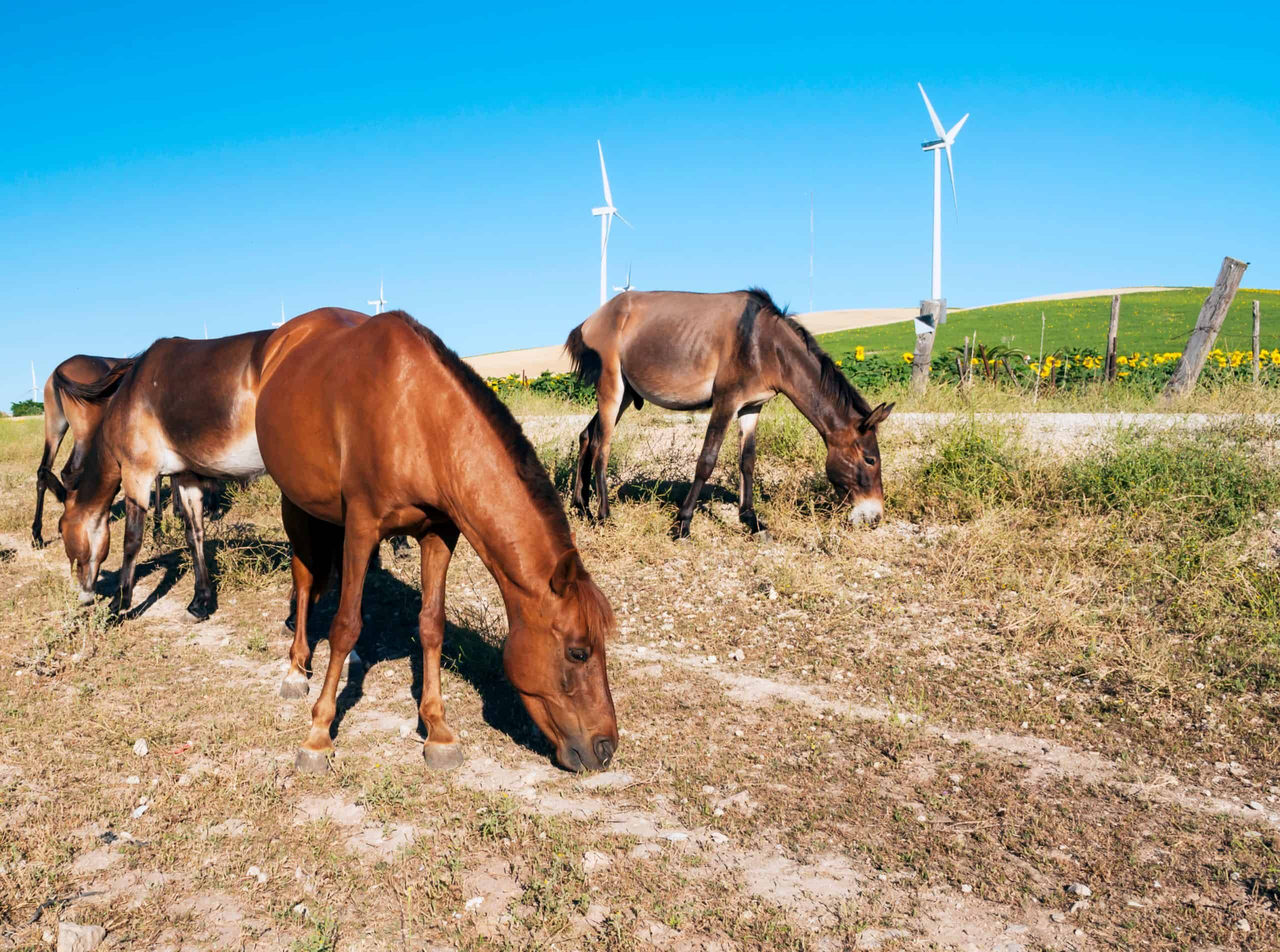 Several horses eating near a field of sunflowers with vanes at the back under the blue sky