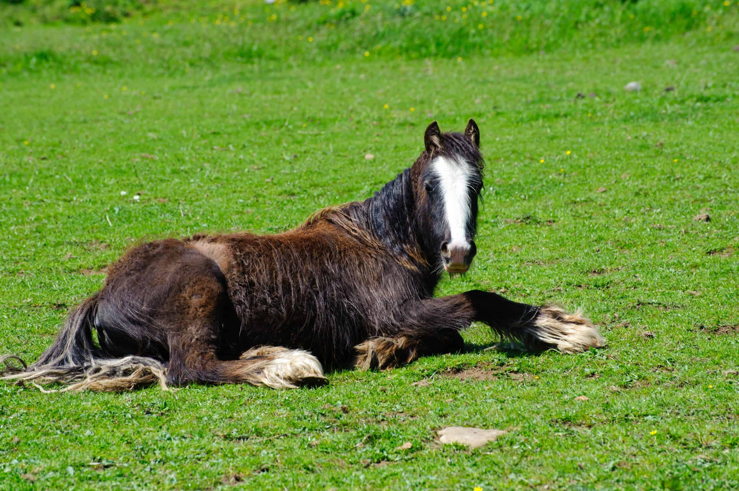 Rescued neglected horse resting and recovering in a green field