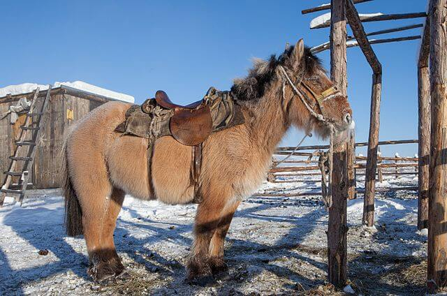"""""""A Yakutian horse (9762345674)"""" by Maarten Takens from Germany - A Yakutian horse. Licensed under CC BY-SA 2.0 via Commons -"""