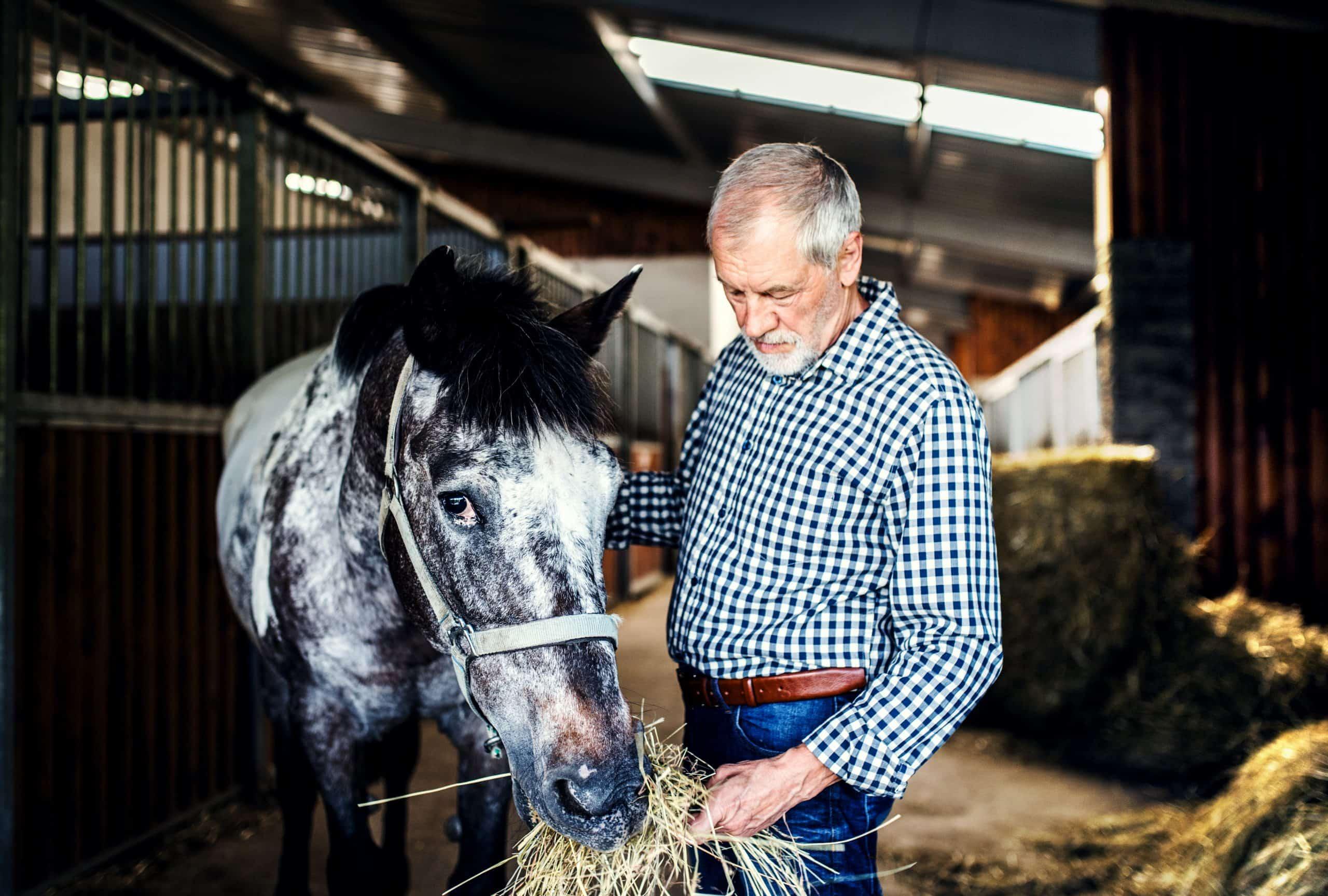 A joyful senior man feeding a horse hay in a stable.