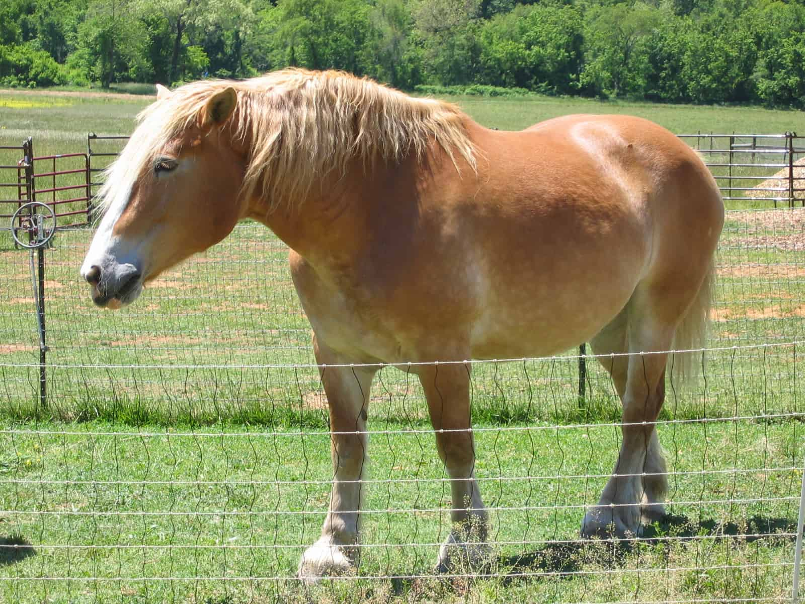 Belgian Draft Horse in pasture