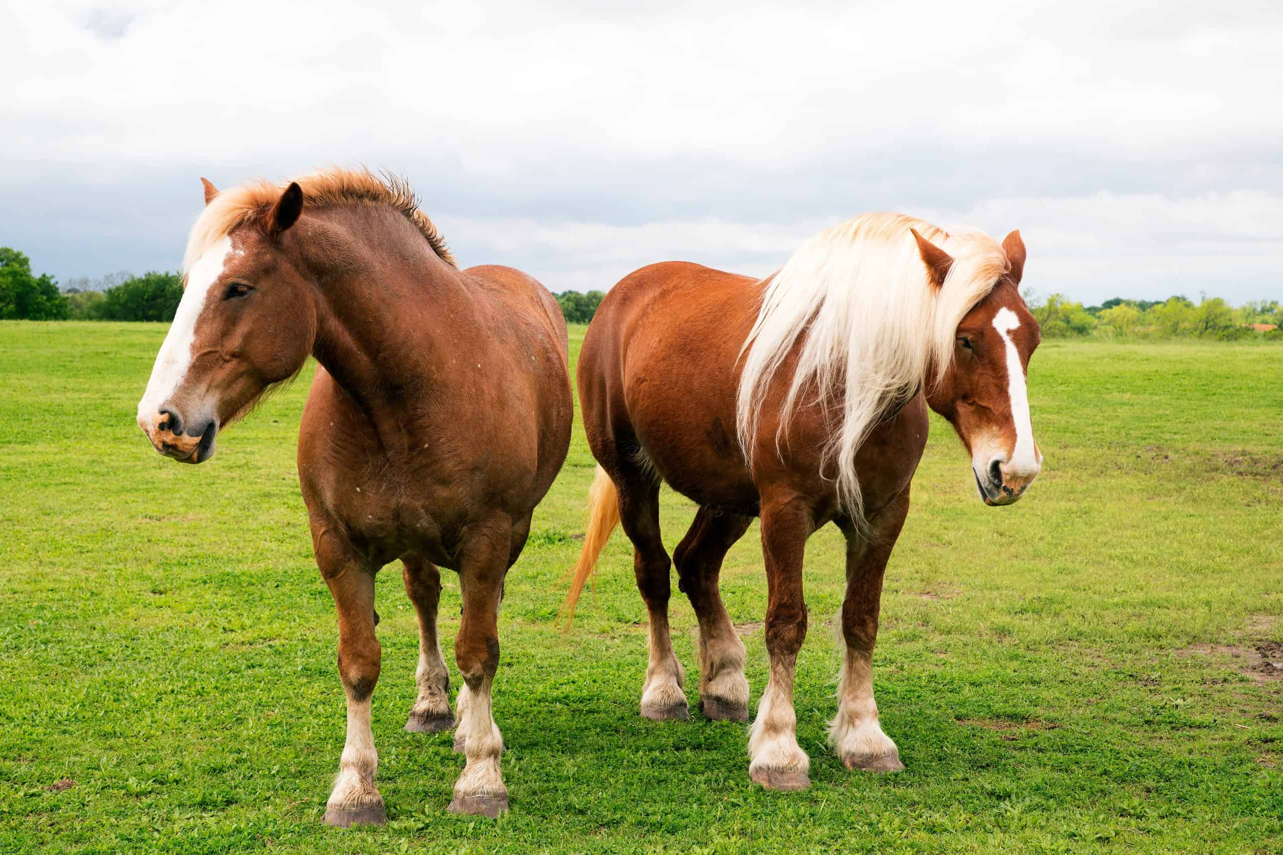 Belgian draft horses near Ennis, Texas