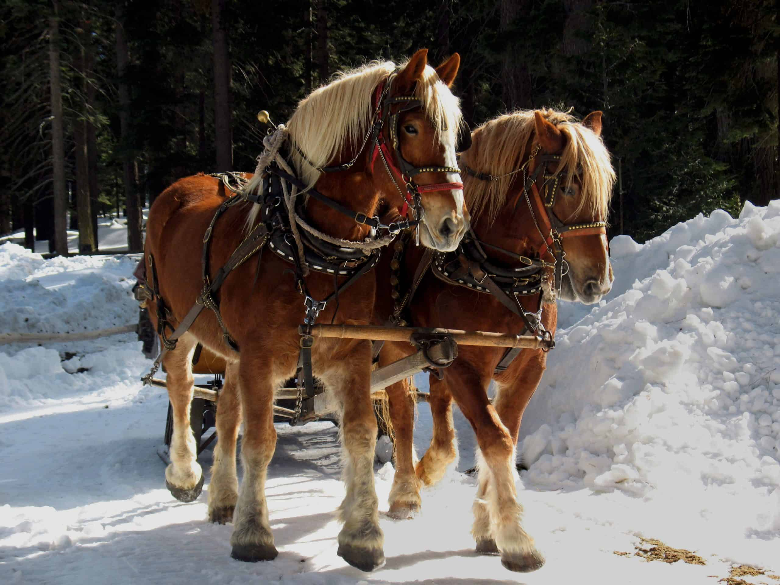 Two Belgian Draft Horses pulling a sleigh in the snow.