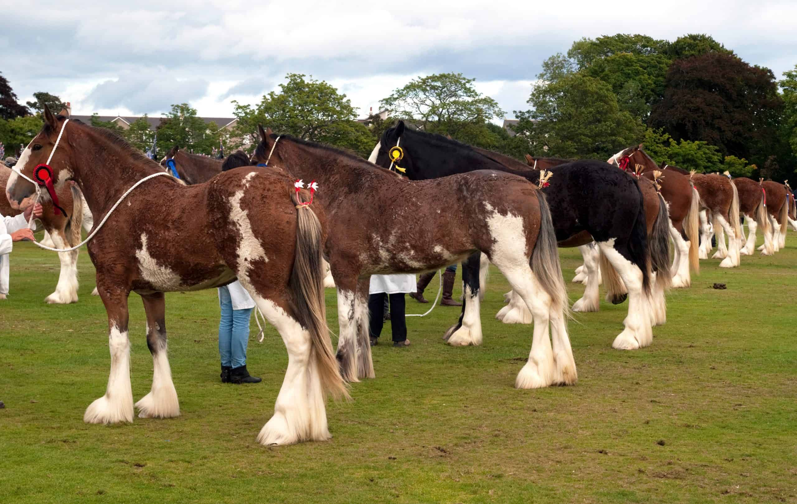 Line up of Clydesdale horses at an agricultural show
