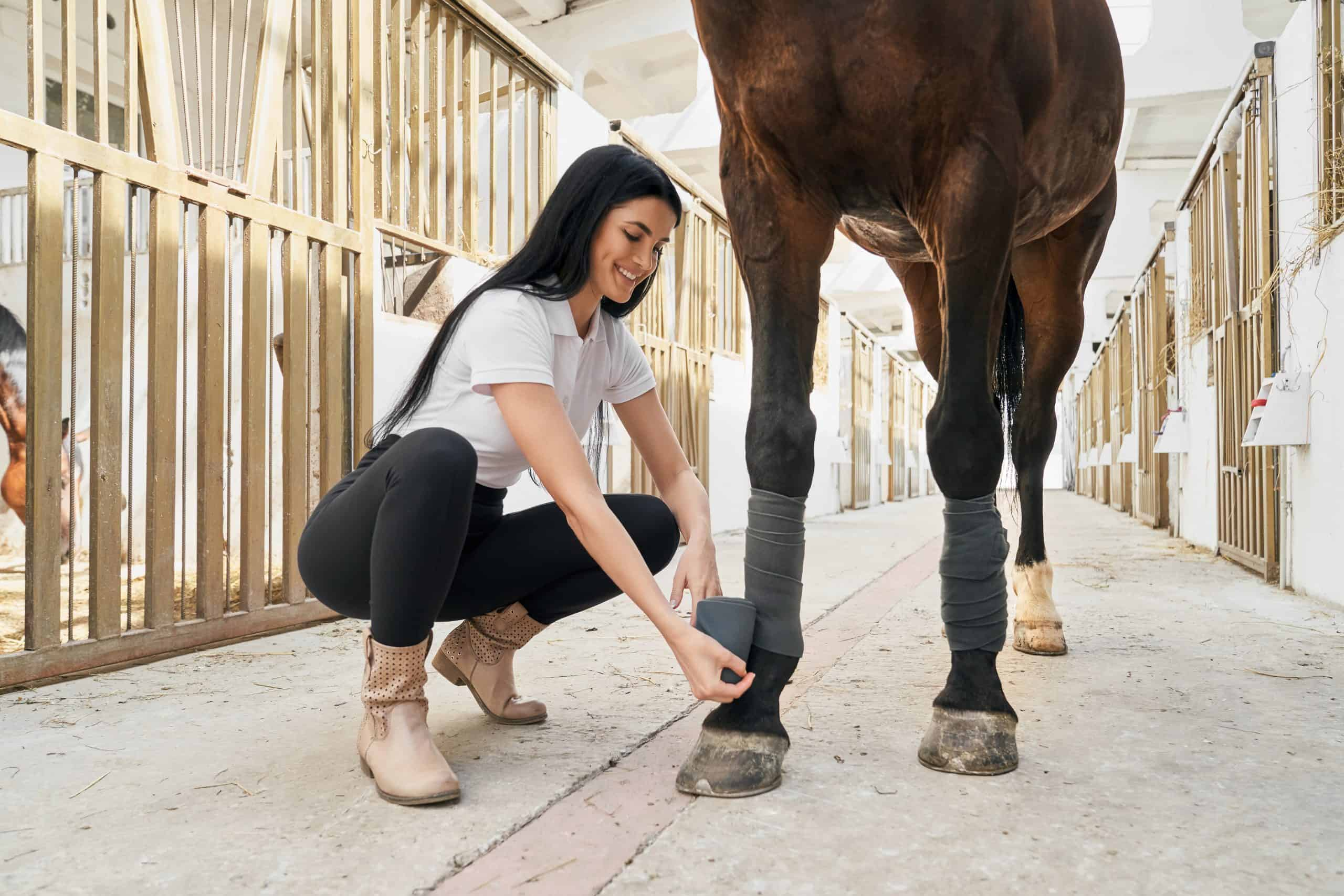 Cheerful woman with long dark hair putting grey bandages on purebred stallion legs to protect from injuries during riding. Concept of animal caring